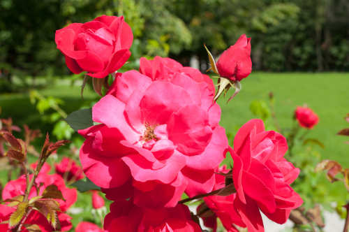 Albuquerque Landscaping with Roses - R and S Landscaping Albuquerque NM 01a 505-271-8419