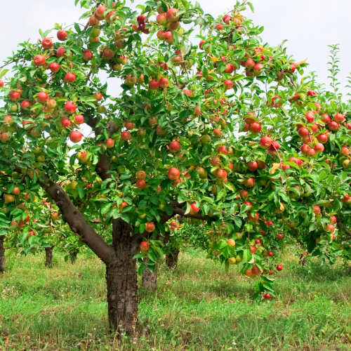 How to Buy a Fruit Tree for Your Albuquerque Area Home - Part One R and S Landscaping Albuquerque NM 505-271-8419