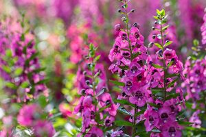 Six Great Annuals You Need to Plant in Your Albuquerque Yard R & S Landscaping Angelonias